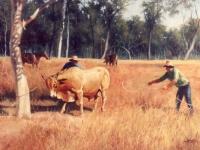 Bull Catching painting.jpg